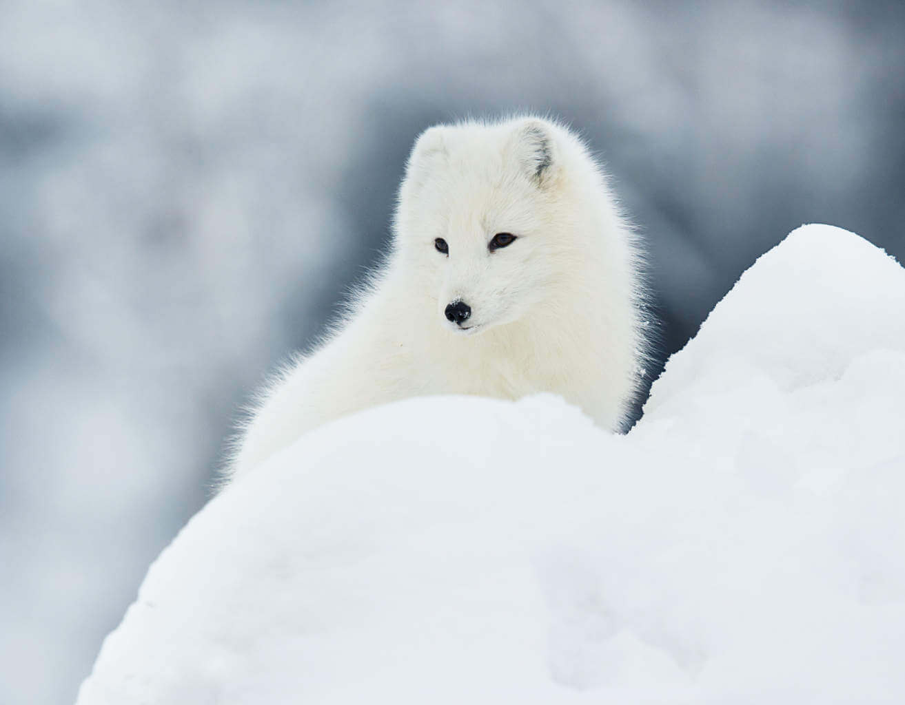 An Arctic Fox in the winter, with its white coat - perfect for blending in with its snowy surroundings.