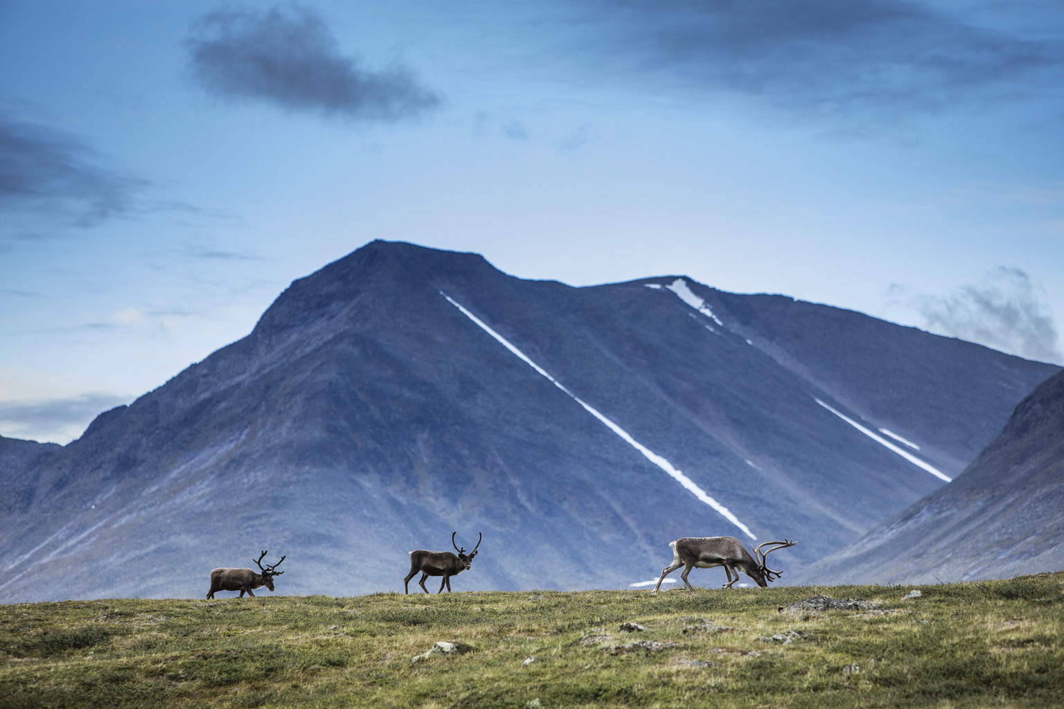 Reindeers in the mountains