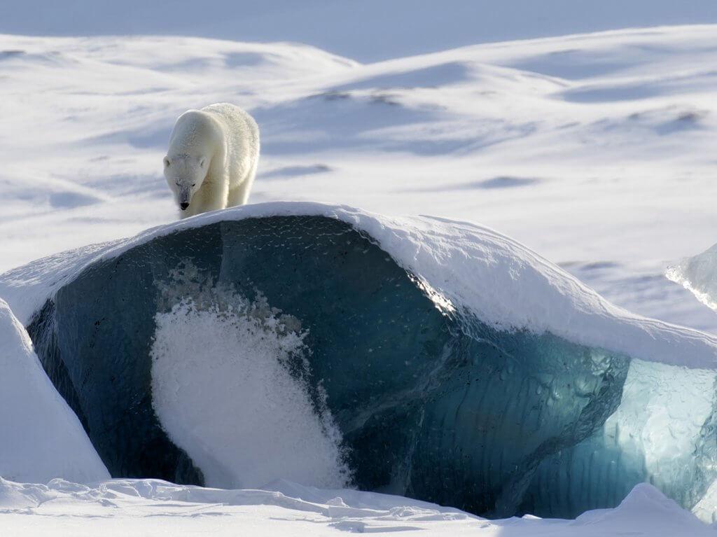 Polar bear by blue glacial ice