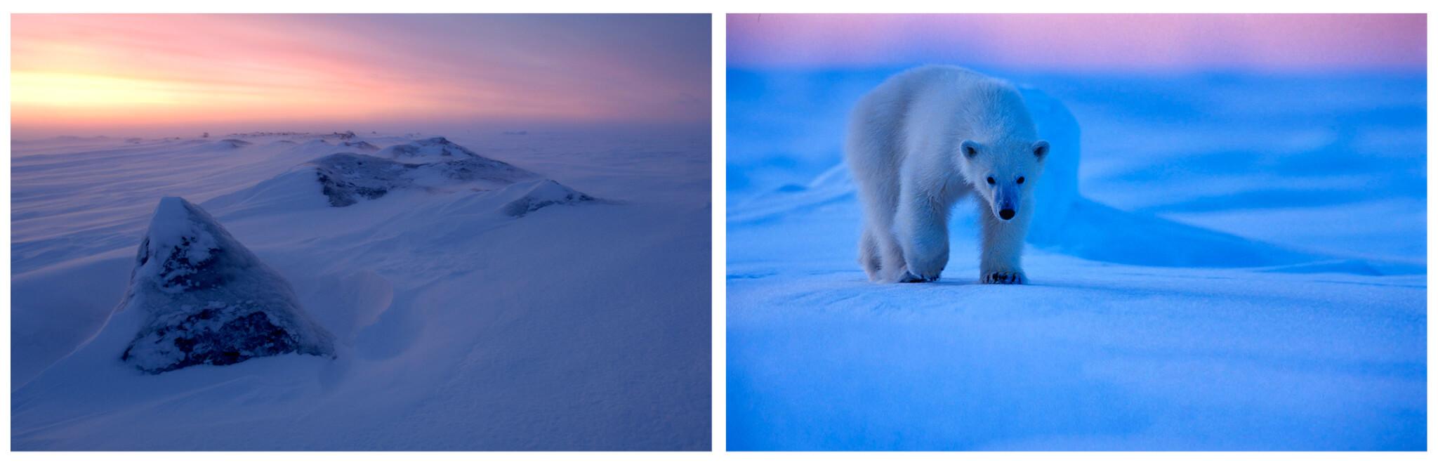 Polar bears at Svalbard