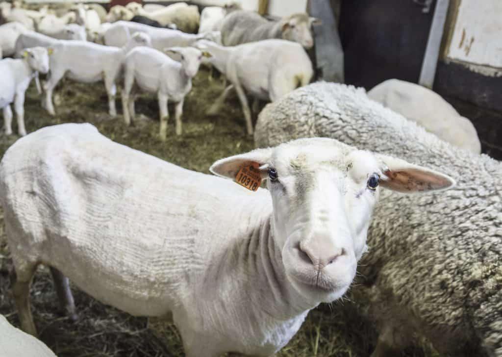 Sheep at the Brattland Farm