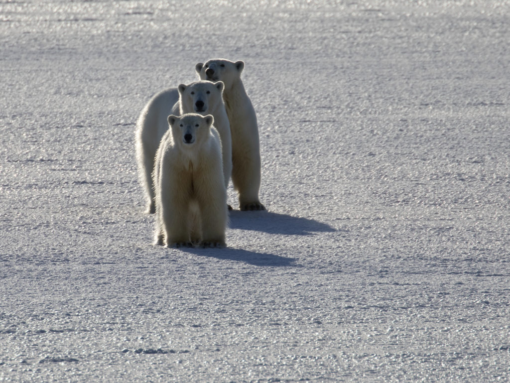 Three polar bears on Svalbard