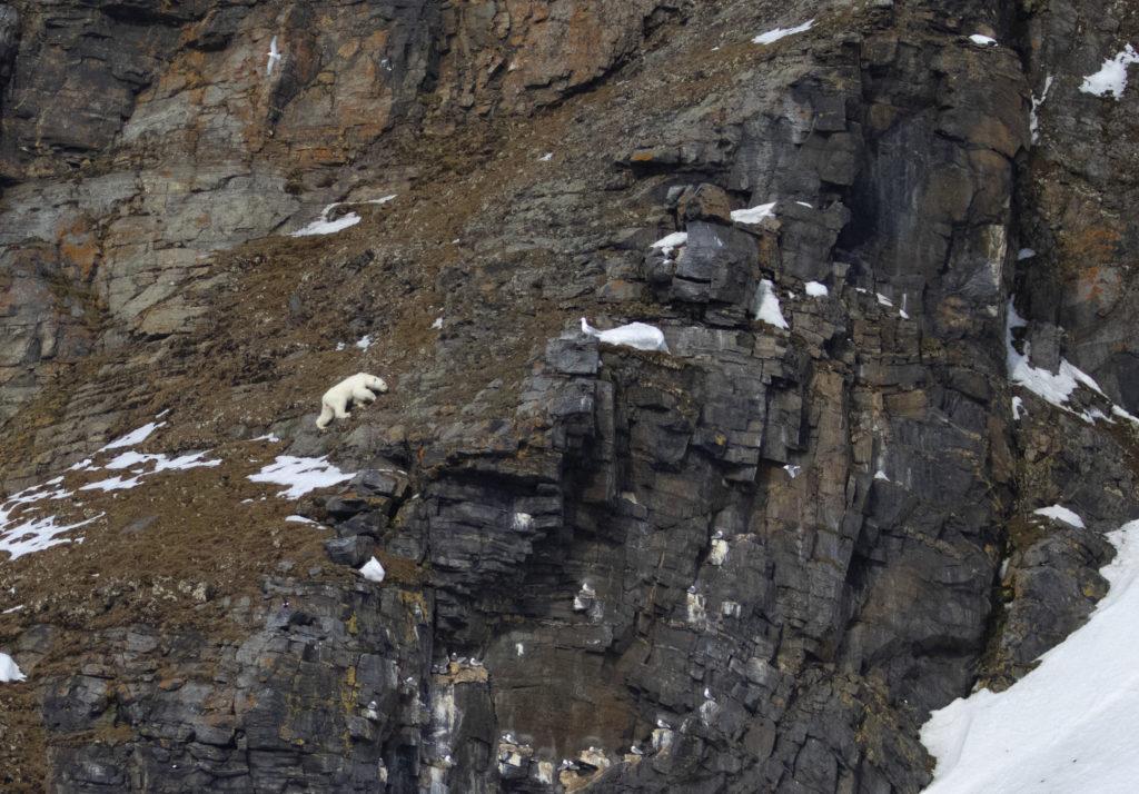 Polar bear on a mountain side
