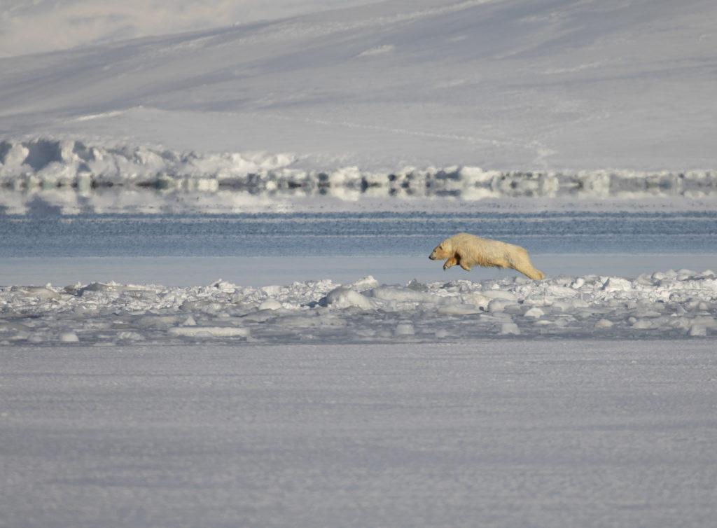 Polar bear jumping on the sea ice