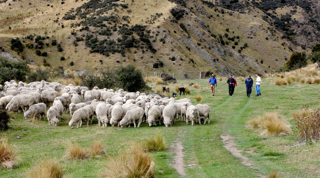 Sheep being herded