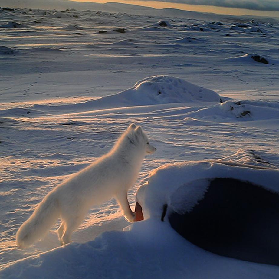 arctic fox, photographer: Naali Riistakamerassa, 2020Metsahallitus
